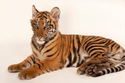 A critically endangered (IUCN) and federally endangered five-month-old Sumatran tiger cub (Panthera tigris sumatrae).