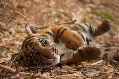 A critically endangered (IUCN) and federally endangered five-month-old Sumatran tiger cub (Panthera tigris sumatrae).