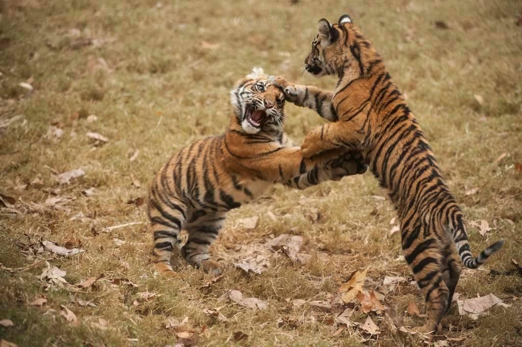 Critically-endangered (IUCN) and federally endangered Sumatran tiger cubs (Panthera tigris sumatrae).