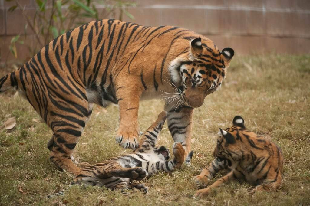 A critically-endangered (IUCN) and federally endangered female Sumatran tiger (Panthera tigris sumatrae) and her five-month-old cubs