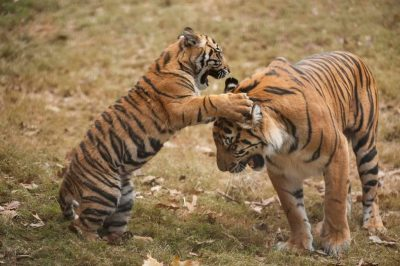 A critically-endangered (IUCN) and federally endangered female Sumatran tiger (Panthera tigris sumatrae) and her five-month-old cub.