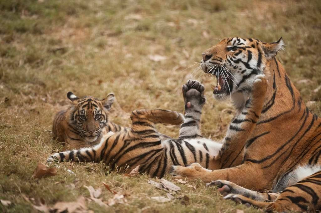 A critically-endangered (IUCN) and federally endangered female Sumatran tiger (Panthera tigris sumatrae) and her five-month-old cubs.