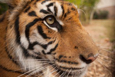 A critically-endangered (IUCN) and federally endangered Sumatran tiger cub (Panthera tigris sumatrae).