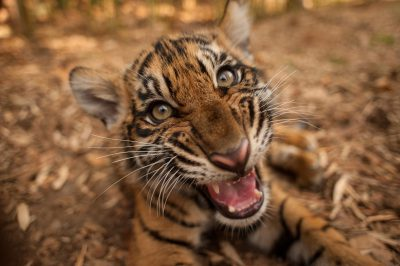 A critically-endangered (IUCN) and federally endangered Sumatran tiger cub (Panthera tigris sumatrae).