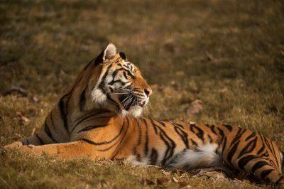A critically-endangered (IUCN) and federally endangered female Sumatran tiger (Panthera tigris sumatrae).