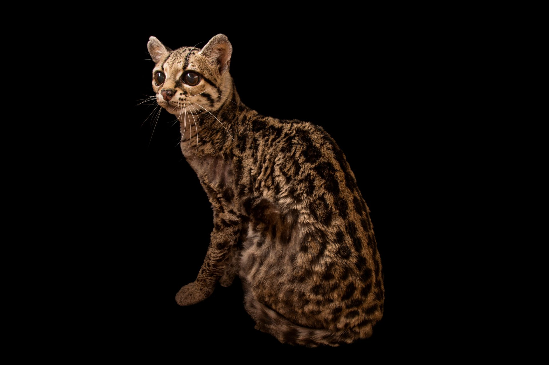 A federally endangered margay (Leopardus wiedii wiedii) named Carlotta at the Cincinnati Zoo. She's a $30,000 cat because that's what the court costs and fines added up to for the man who she was confiscated from in Indiana. She was most likely born in the wild and is nearing the end of her life span at the age of 19.