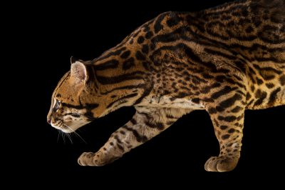 A federally endangered southern Brazilian ocelot (Leopardus pardalis mitis) named Marcel at the Cincinnati Zoo.