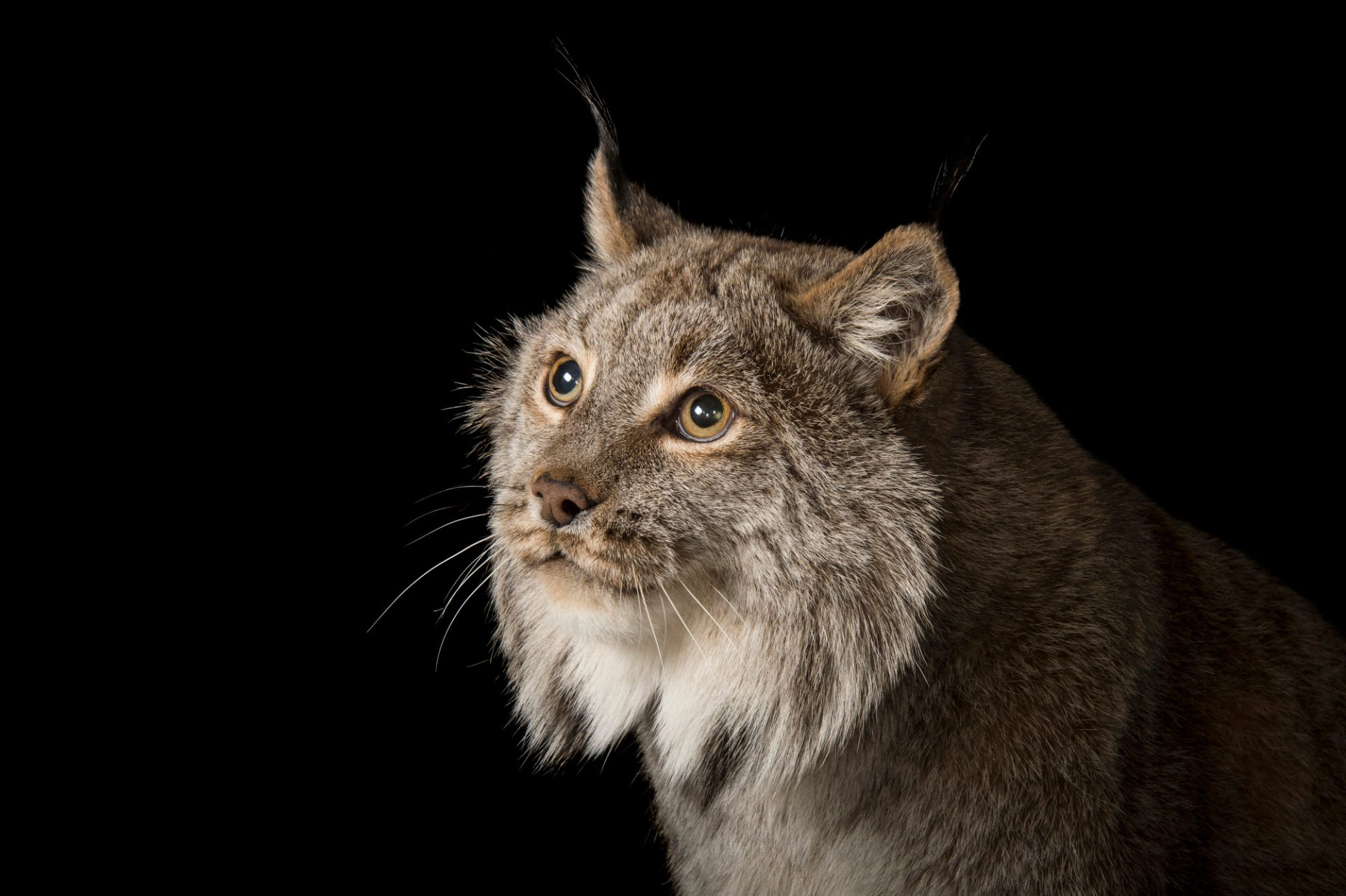 Picture of a federally threatened, Canada lynx (Lynx canadensis) named Yukon at the Cincinnati Zoo.