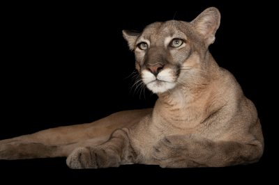A federally endangered Florida panther (Puma concolor coryi) named Lucy at Tampa's Lowry Park Zoo.