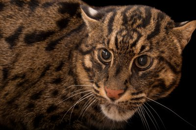 Picture of an endangered fishing cat (Prionailurus viverrinus) at the Cincinnati Zoo.