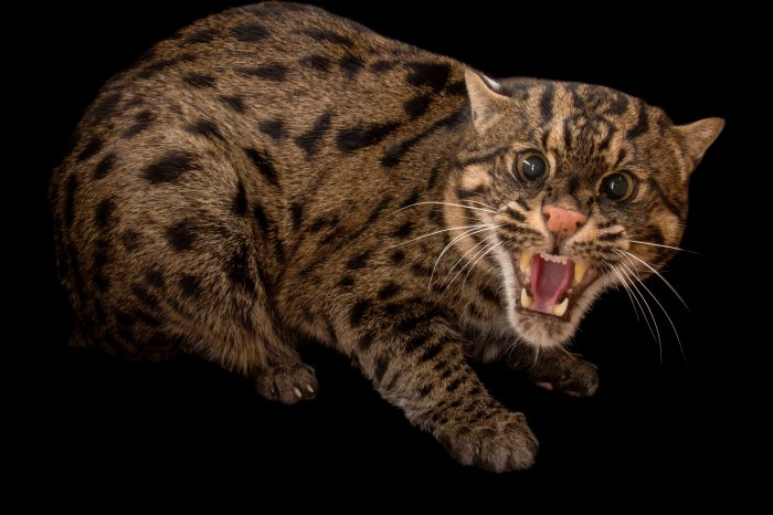 Picture of an endangered fishing cat (Prionailurus viverrinus) at the Cincinnati Zoo.