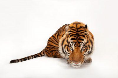 A critically endangered (IUCN) and federally endangered Sumatran tiger (Panthera tigris ssp. sumatrae) at the Miller Park Zoo.