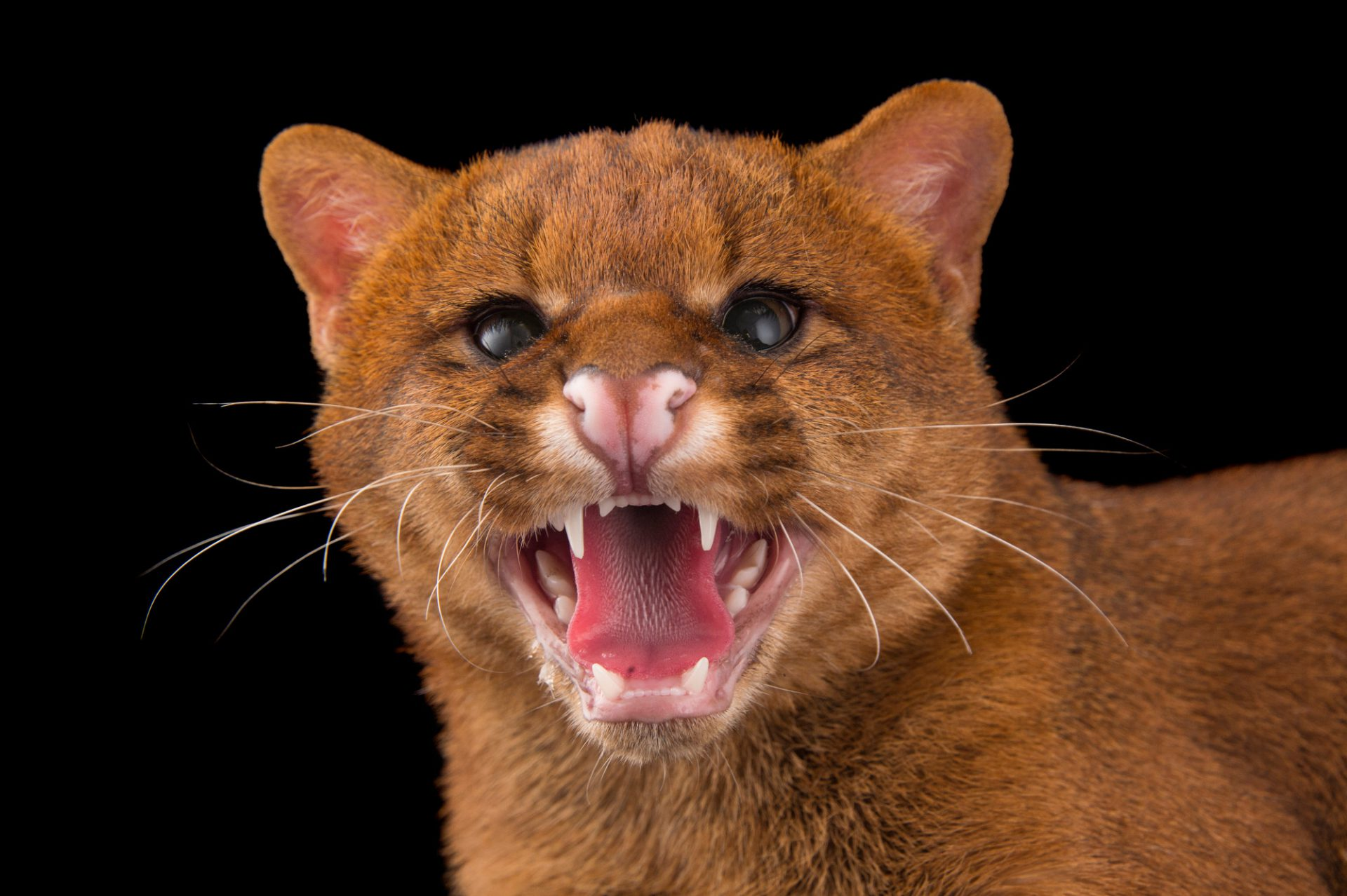 Picture of a federally endangered jaguarundi (Puma yagouaroundi) at Bear Creek Feline Center.