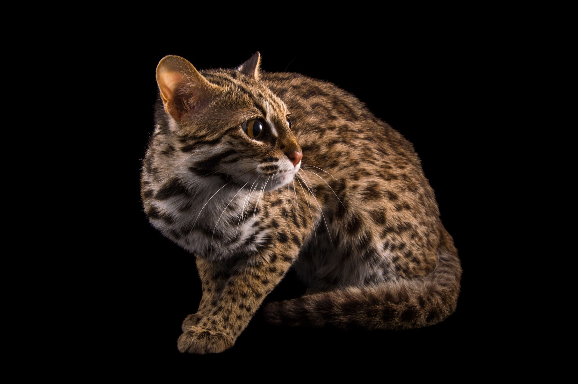 Picture of a female, one-year old leopard cat (Prionailurus bengalensis chinensis) named Asia.
