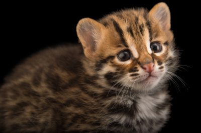 Picture of a four-week old, male leopard cat (Prionailurus bengalensis chinensis).