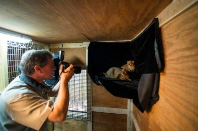 Photo: Joel Sartore photographs jaguarundi at Bear Creek Feline Center.
