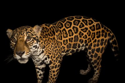 Photo: A federally endangered ten-year-old female jaguar named Pintada (which means 'spots') at the Dallas World Aquarium.