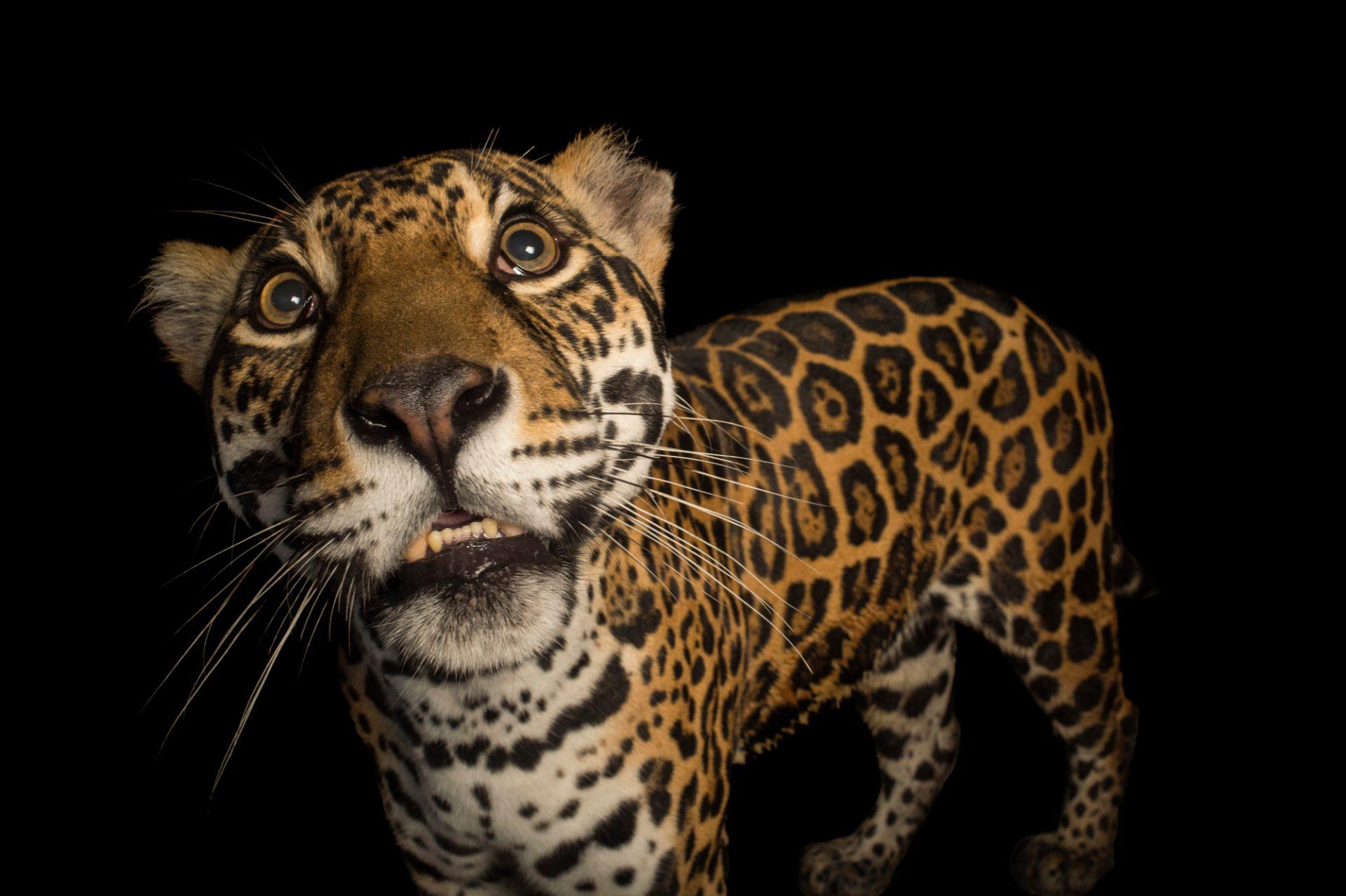 of event txgarage parkplace jag pushes status dallas pace elevating the place your cover park jaguar