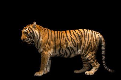 Picture of Rani, an endangered female Bengal tiger (Panthera tigris tigris) at Alabama Gulf Coast Zoo.