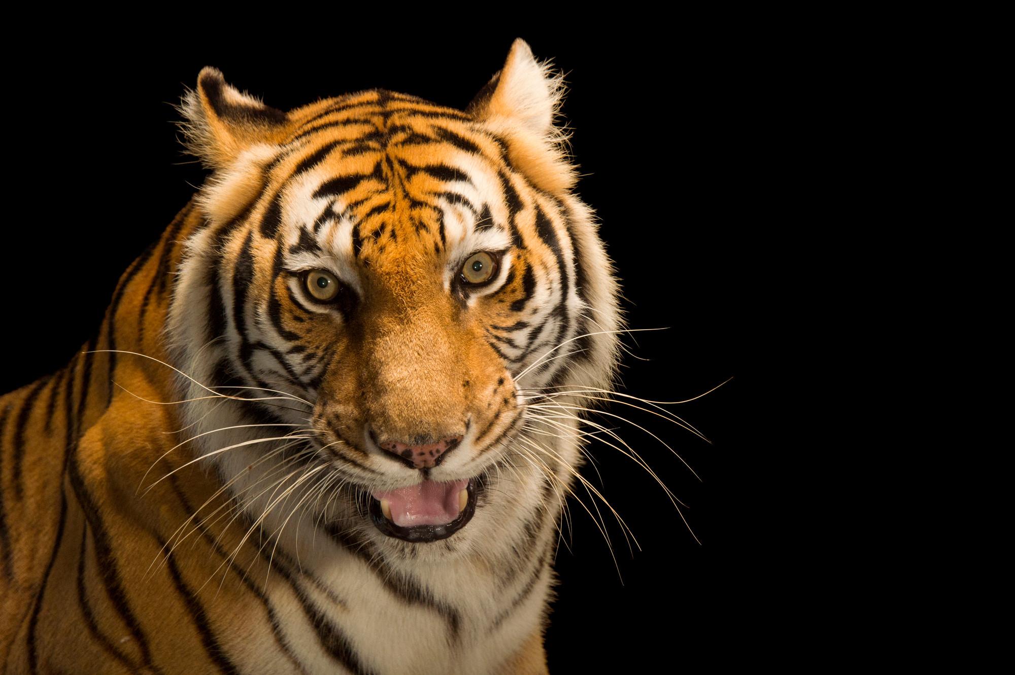 bengal tiger images - joel sartore