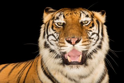 Picture of Rani, an endangered female Bengal tiger (Panthera tigris tigris) at Alabama Gulf Coast Zoo.