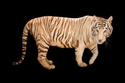 Picture of Rajah, an endangered male, white Bengal tiger (Panthera tigris tigris) at Alabama Gulf Coast Zoo.
