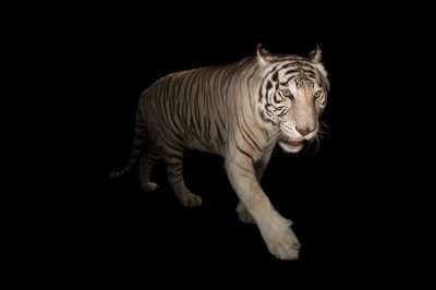 Picture of Rajah, an endangered, male white Bengal tiger (Panthera tigris tigris) at Alabama Gulf Coast Zoo.