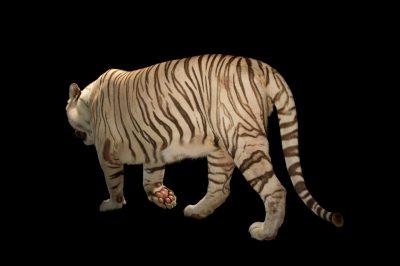Picture of Rajah, a male white Bengal tiger (Panthera tigris tigris) at Alabama Gulf Coast Zoo.