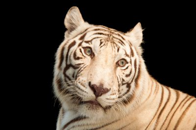 Picture of Rajah, an endangered, male, white Bengal tiger (Panthera tigris tigris) at Alabama Gulf Coast Zoo.