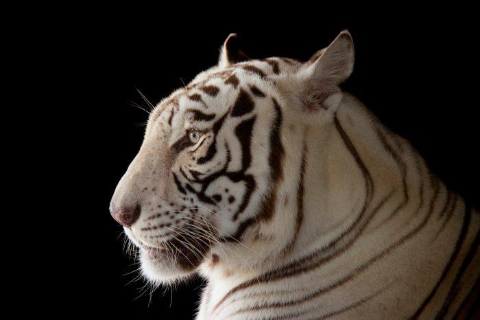 Picture of Rajah, an endangered, male white Bengal tiger (Panthera tigris tigris) at Alabama Gulf Coast Zoo.