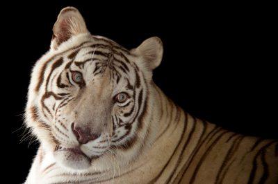Picture of Rajah, an endangered male white Bengal tiger (Panthera tigris tigris) at Alabama Gulf Coast Zoo.