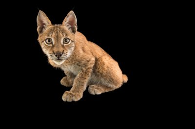 Picture of Cassanova, a Eurasian lynx (Lynx lynx) who is 4 1/2 months old, at Alabama Gulf Coast Zoo.
