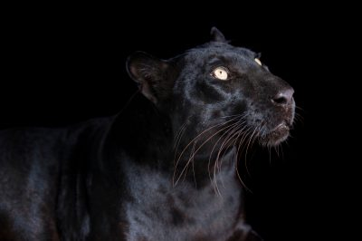 Picture of Katrina, a federally endangered, black phased African leopard (Panthera pardus pardus), at the Alabama Gulf Coast Zoo.