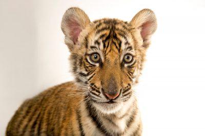 Picture of Raphael, an endangered 8 1/2 week-old Bengal tiger cub (Panthera tigris tigris) at Alabama Gulf Coast Zoo.