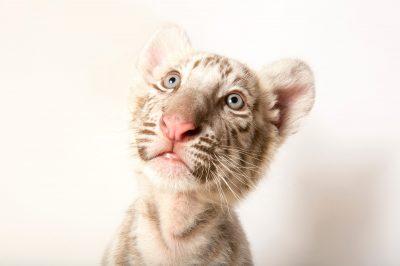 Picture of Leonardo, an endangered, 8 1/2 week-old Bengal tiger cub (Panthera tigris tigris) at Alabama Gulf Coast Zoo.