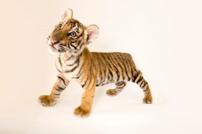 Picture of Raphael, an endangered 8 1/2 week-old Bengal tiger cub (Panthera tigris tigris) at Alabama Gulf Coast Zoo.