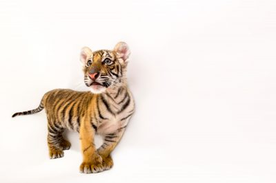 Picture of Raphael, an endangered 8 1/2 week-old Bengal tiger cub (Panthera tigris tigris), at Alabama Gulf Coast Zoo.