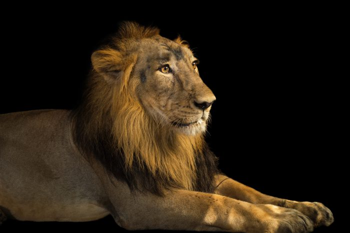 Picture of an endangered (IUCN) and federally endangered, male Asiatic lion (Panthera leo persica) at the Kamla Nehru Zoological Garden in Ahmedabad, India.