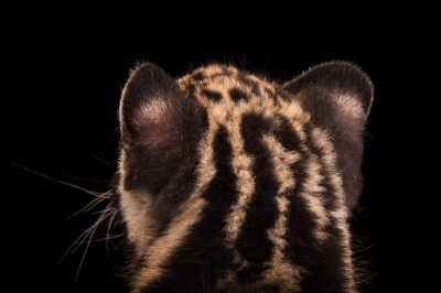 A vulnerable (IUCN) and federally endangered, nine-week-old clouded leopard cub (Neofelis nebulosa) at the Columbus Zoo.
