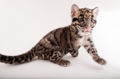 A vulnerable (IUCN) and federally endangered, nine-week-old clouded leopard cub (Neofelis nebulosa nebulosa) at the Columbus Zoo.