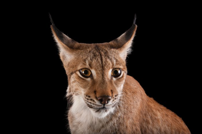 Picture of a Eurasian lynx (Lynx lynx) at the Columbus Zoo.