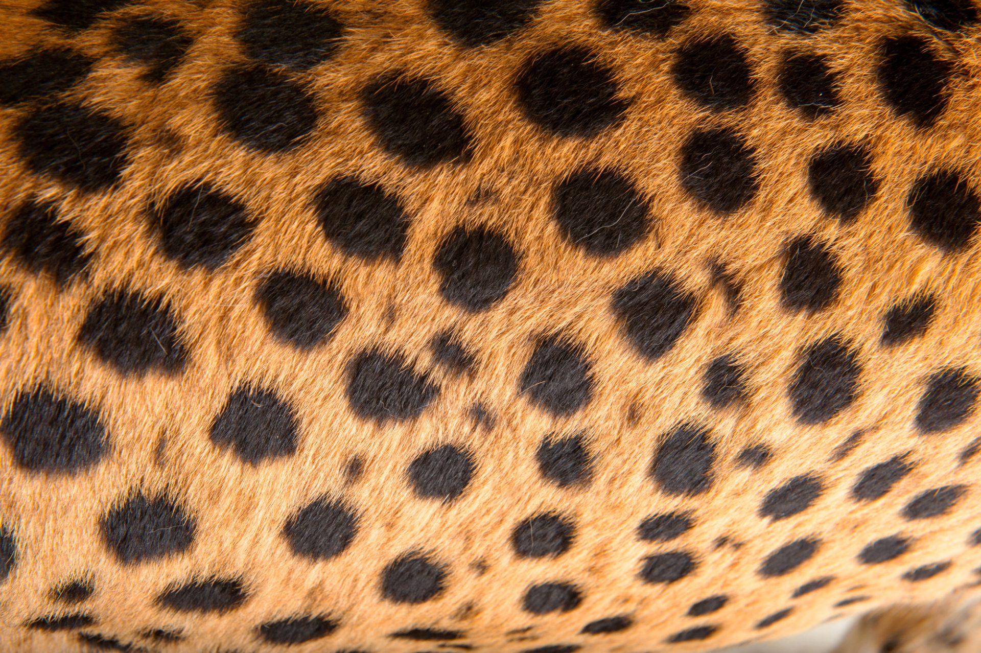Picture of a vulnerable (IUCN) and federally endangered cheetah (Acinonyx jubatus jubatus) at the Columbus Zoo.