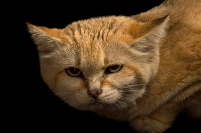 Picture of a sand cat (Felis margarita harrisoni) at the Tulsa Zoo.