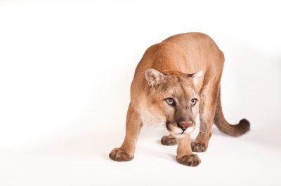 A North American mountain lion (Puma concolor couguar), at the Rolling Hills Wildlife Adventure.
