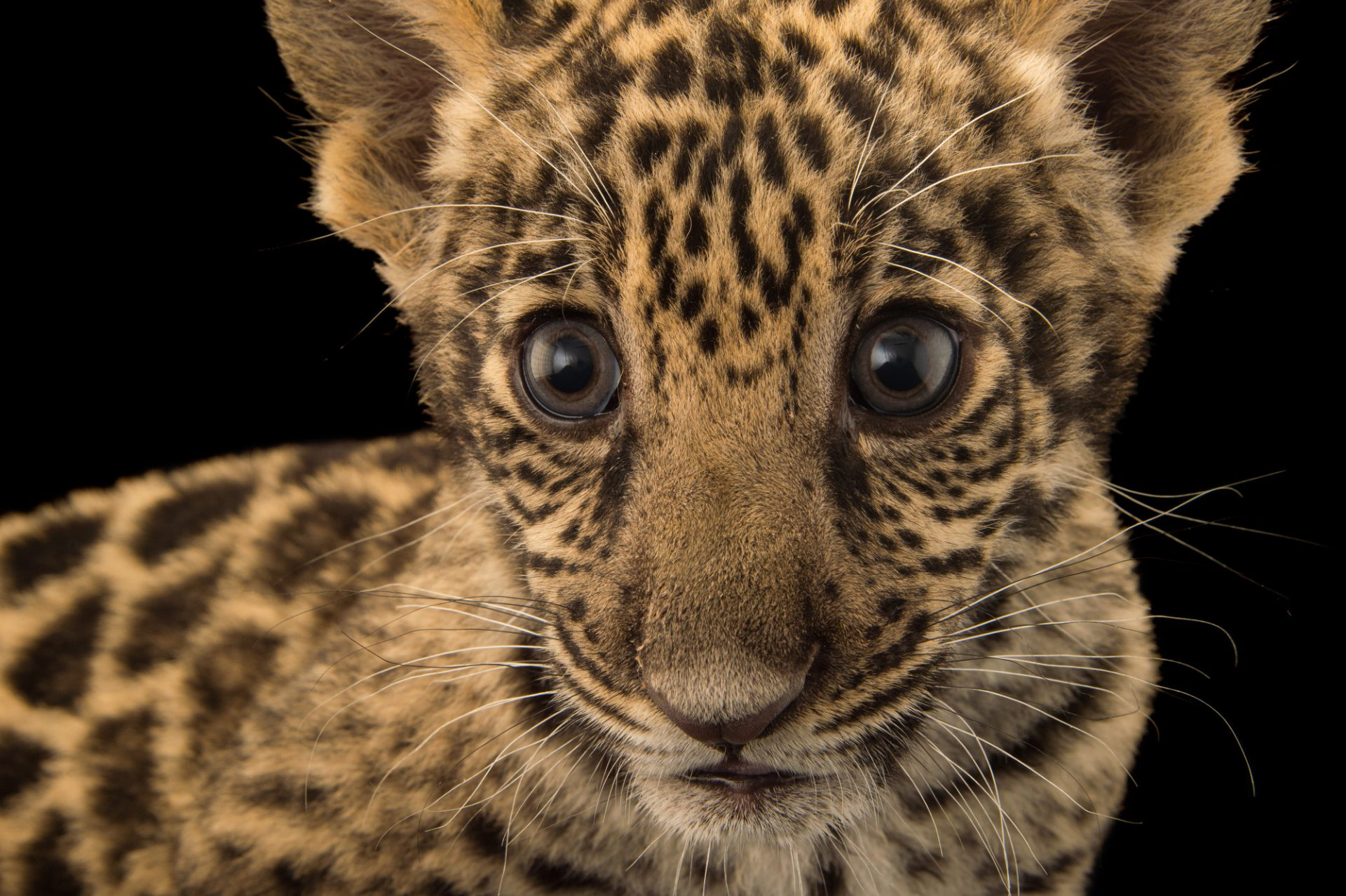 Picture of a two-month old, federally endangered jaguar cub (Panthera onca) named Teiku at the Parque Zoologico Nacional in Santo Domingo, Dominican Republic.