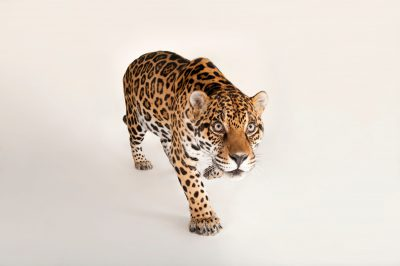 Picture of a federally endangered jaguar, Panthera onca, at the Omaha Henry Doorly Zoo.