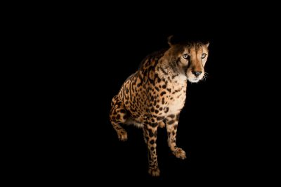 Picture of a vulnerable (IUCN) and federally endangered Southern Africa King cheetah (Acinonyx jubatus jubatus) named George at Zoo Miami.