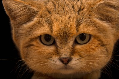 Picture of a sand cat (Felis margarita) named 'Sven' at the Chattanooga Zoo.