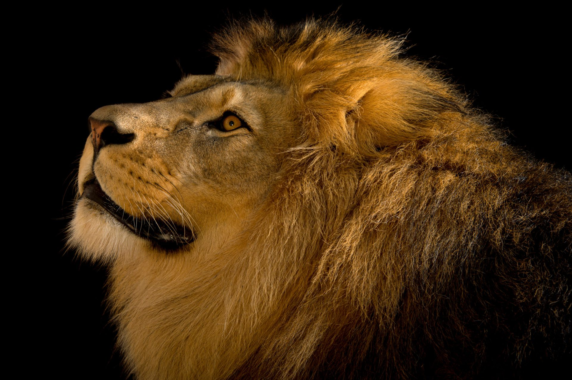 Picture of a Barbary lion (Panthera leo leo) at the Plzen Zoo in the Czech Republic.
