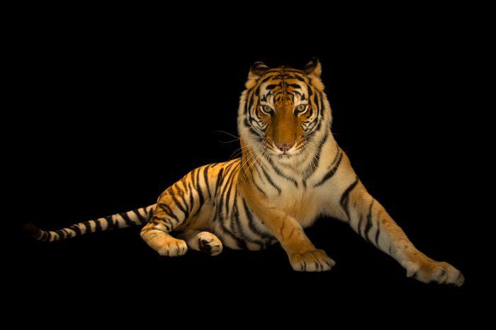 Picture of an endangered female Bengal tiger (Panthera tigris tigris) at Alabama Gulf Coast Zoo.